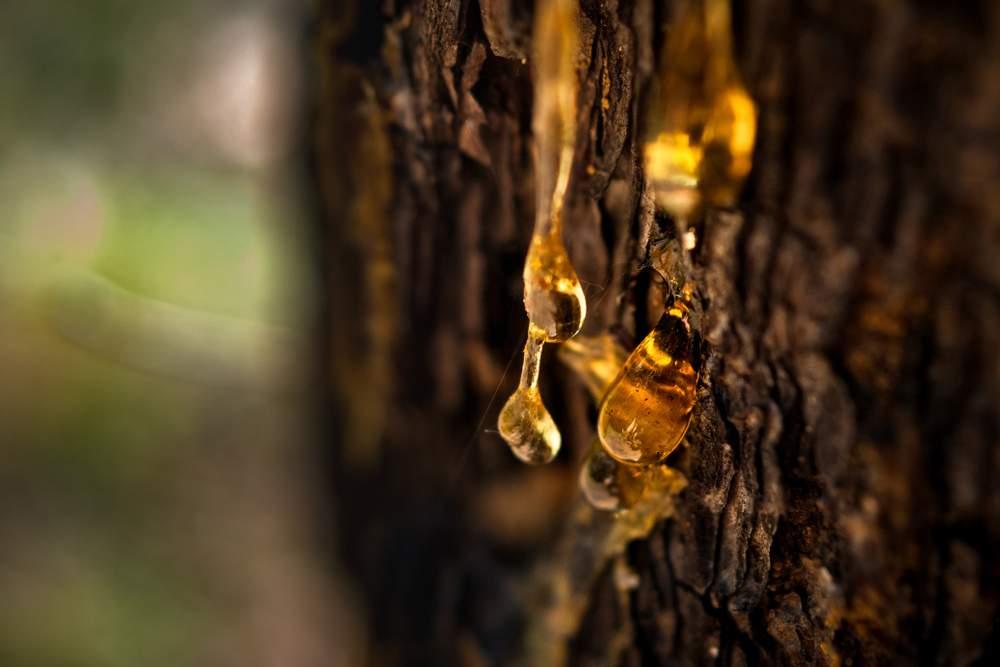 Resina cayendo de un árbol